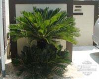植栽 庭木 常緑樹 ドラセナ ソテツ