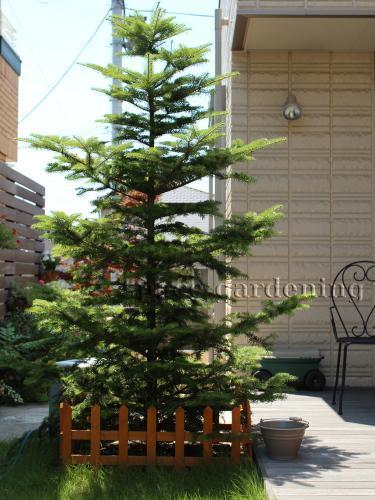 クリスマスツリー 庭木 モミノキ