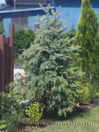 クリスマスツリー 庭木 ブンゲンストウヒ