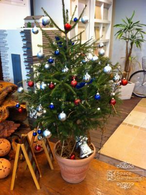 クリスマスツリー 庭木 ドイツトウヒ