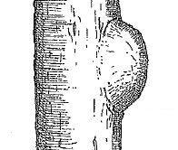 樹皮 こぶ コブ 瘤