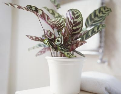 カラテア マコヤナ 日陰で育つ 観葉植物 日当たり悪い おしゃれ