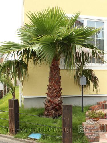 ヤシの木 椰子 ワシントンヤシ 庭 デザイン ガーデン リゾート