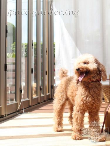 サンルーム ガーデンルーム ペット 犬 トイプードル