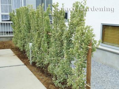植栽 生垣 常緑樹 キンマサキ