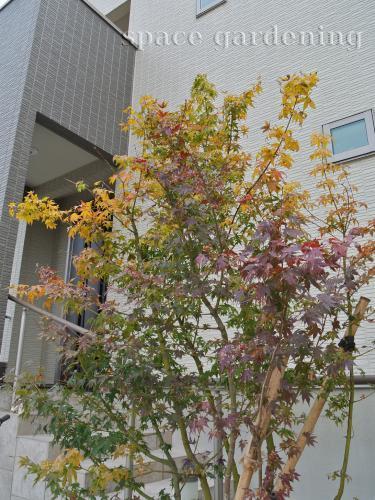 イロハモミジ シンボルツリー 植木