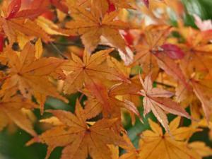 ヤマモミジ シンボルツリー 植木