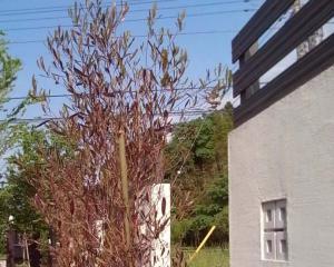 ポップブッシュ シンボルツリー 紅葉