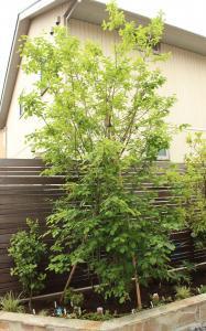 ジューンベリー シンボルツリー 紅葉