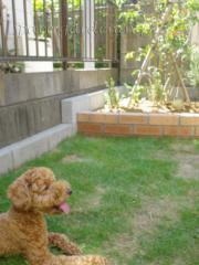 庭 芝生 花壇 レンガ 愛犬 トイプードル