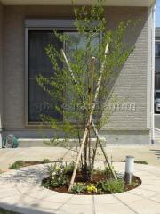 庭 植栽 シンボルツリー 落葉樹 エゴノキ 取手市