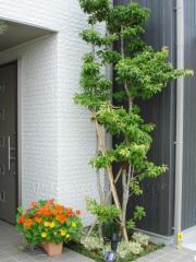 植栽 庭木 常緑樹 ソヨゴ