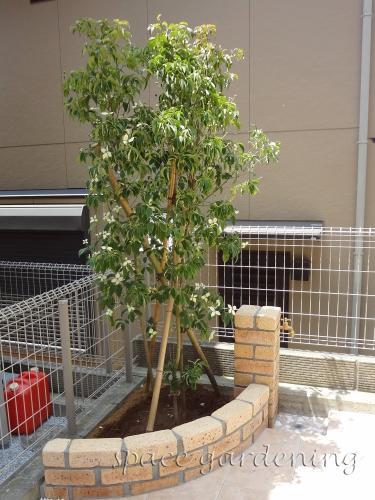 植栽 庭木 常緑樹 ホンコンエンシス 植栽庭木常緑樹ホンコンエンシス 庭木 ホンコンエンシス