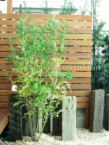 植栽 庭木 常緑樹 シマトネリコ 植栽庭木常緑樹シマトネリコ 庭木 シマトネリコ