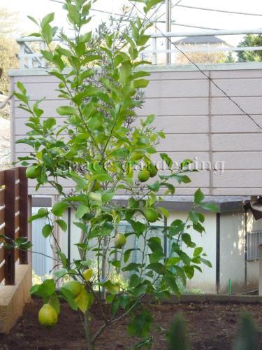 植栽 庭木 常緑樹 レモン 施工例 [ 施工例 No - Y006957 ] 庭木 常緑樹 レモ