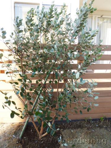 植栽 庭木 常緑樹 フェイジョア 植栽庭木常緑樹フェイジョア 庭木 常緑樹 白井市