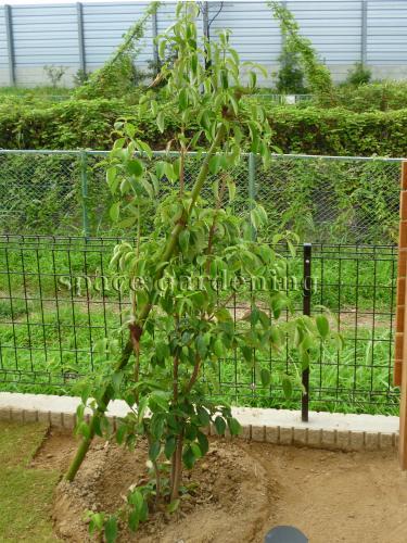 施工例画像:植栽 庭木 千葉市  植栽 庭木 常緑樹 ヤマボウシ 植栽 庭木 常緑樹 オリーブ