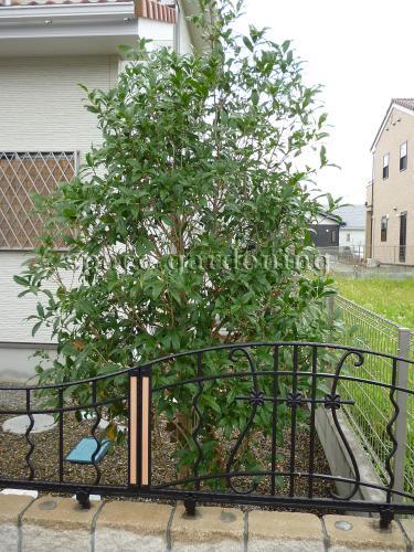 植栽 庭木 常緑樹 キンモクセイ 植栽庭木常緑樹キンモクセイ 庭木 キンモクセイ 千葉県山武郡